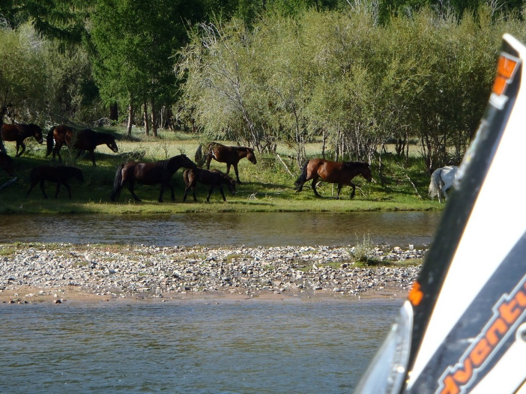 Wild horses at 2nd Mongolian campsite.